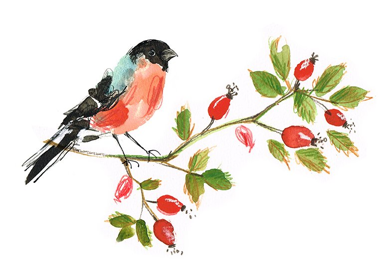 Bullfinch on rosehips