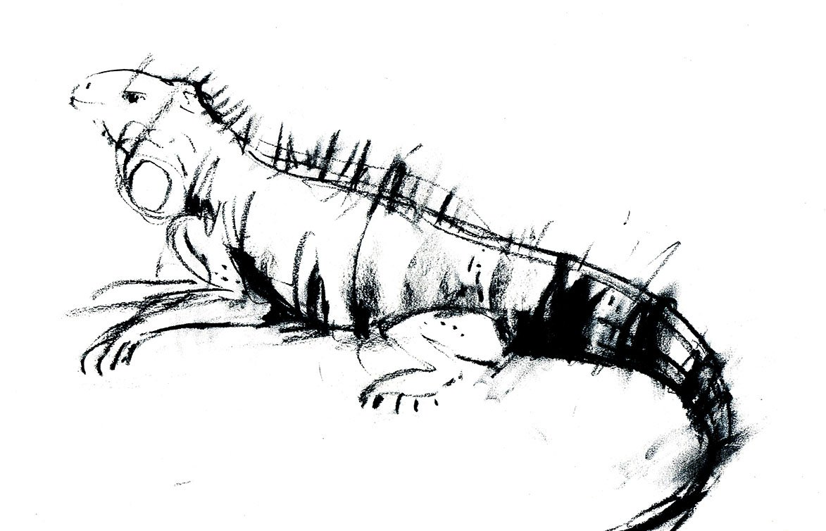 lizard iguana drawing