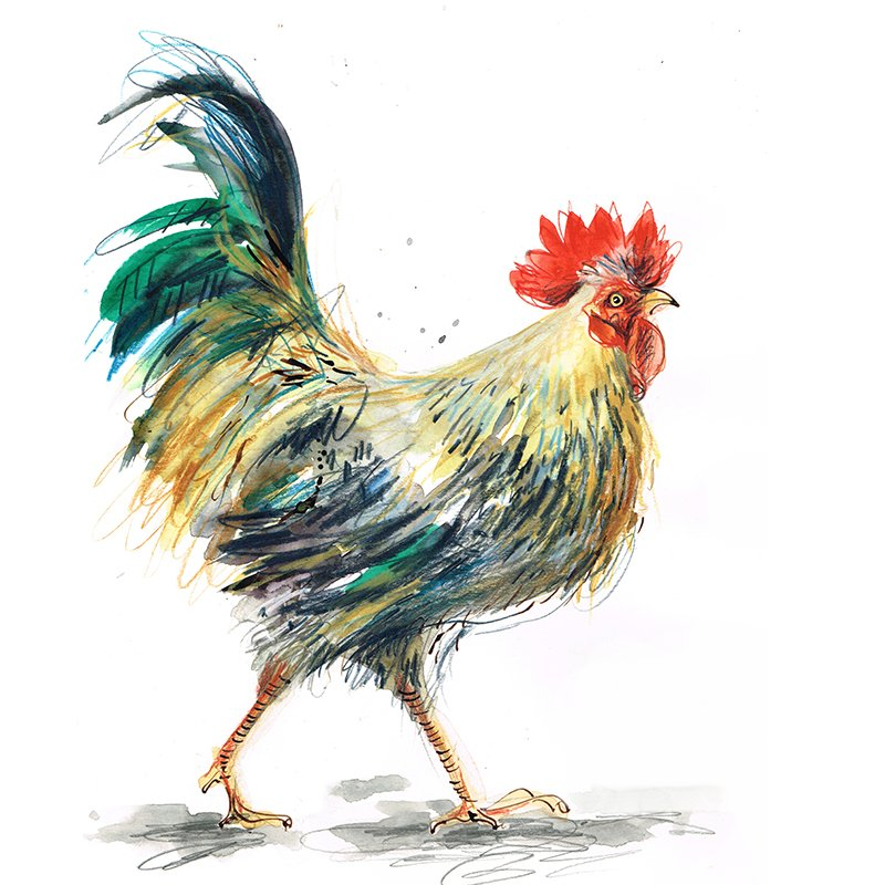 cockerel laura mckendry bird chicken illustration