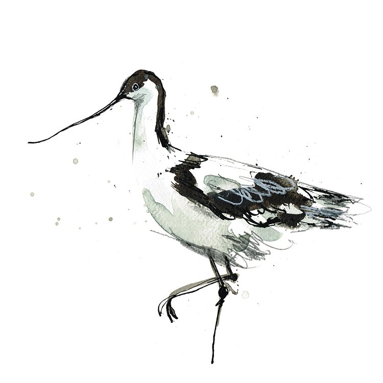 avocet laura mckendry coastal bird illustration