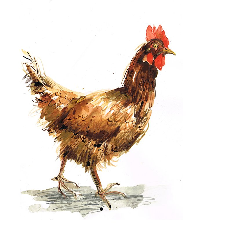 chickens laura mckendry bird illustration brown hen