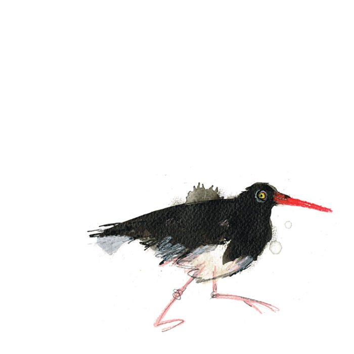 oyster catcher laura mckendry coastal